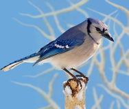 Bluejay On A Snowy Birch Stump Royalty Free Stock Image