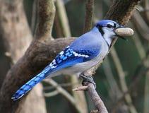 Bluejay. Such a beautiful bird - Bluejay Royalty Free Stock Photo