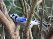 Bluejay. Such a beautiful bird - Bluejay Royalty Free Stock Image