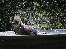 Bluejay after a swim in bath. Cooling off, shaking water in birdbath Royalty Free Stock Photos