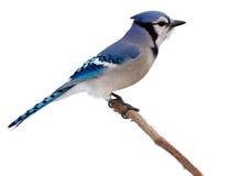Bluejay tast zijn omgeving af Stock Foto's