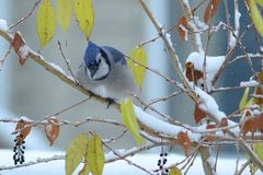 Bluejay Royalty Free Stock Photos