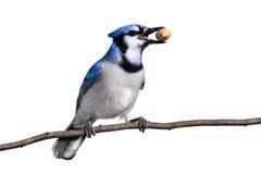 Bluejay treft voor vlucht met een pinda voorbereidingen stock afbeelding