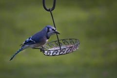 Bluejay w wiośnie Obrazy Royalty Free