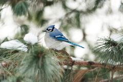 Bluejay in Winter. Bluejay on evergreen bough in winter - white snow creates pretty bokeh background to contrast rich blue feathers of the bird Royalty Free Stock Photography