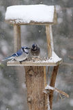 Bluejays on Backyard Feeder in Snowstorm Stock Photo