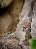 Bluejeans Red Frog over Rock. In tropical forest, Waterfall Gardens in Costa Rica Royalty Free Stock Photo