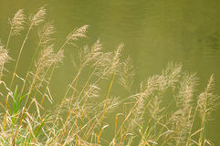 Bluejoint Reedgrass Growing by the River Stock Photography