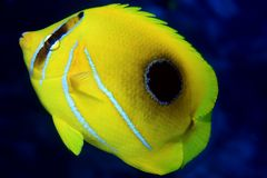Bluelashed butterflyfish Stock Image