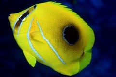 Bluelashed butterflyfish Stock Image