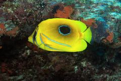 Bluelashed butterflyfish Stock Photos