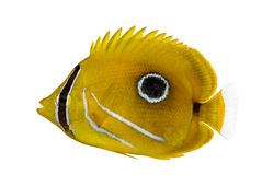 Bluelashed butterflyfish, Chaetodon bennetti, Stock Photo