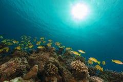 Bluelined fotografowie w Czerwonym morzu Obrazy Royalty Free