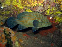 Bluelined Grouper - Cephalapholis formosa Royalty Free Stock Photos