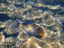 bluelined maldives surgeonfish Royaltyfri Foto