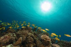 Bluelined snappers in the Red Sea. Royalty Free Stock Images