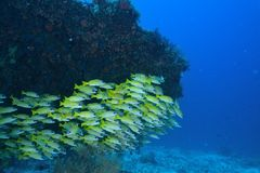 Bluelined snappers Stock Photo