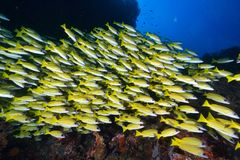 Bluelined snappers Stock Images