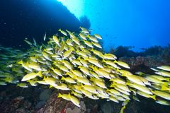 Bluelined snappers Royalty Free Stock Photography