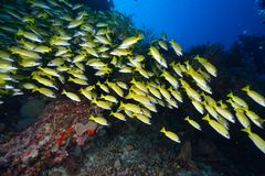 Bluelined snappers Royalty Free Stock Image