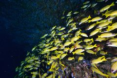 Bluelined snappers Royalty Free Stock Photo
