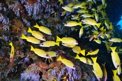 Bluelined snappers Stock Photos