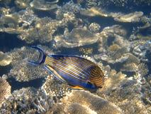 bluelined surgeonfish Мальдивов Стоковое фото RF