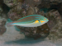 Bluelined wrasse Stock Image