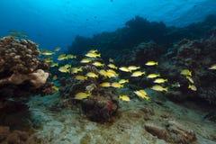 Bluelinedsnappers in het Rode Overzees stock fotografie