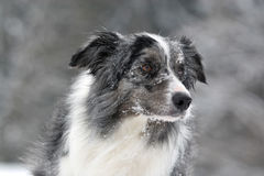 Bluemerle border collie. Portrait in snow royalty free stock image