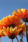 bluen blommar den orange skyen Arkivbild
