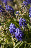 bluen blommar hyacintet Royaltyfri Foto