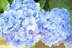 bluen blommar hyacintet Royaltyfria Bilder