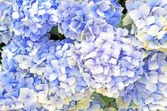 bluen blommar hyacintet Fotografering för Bildbyråer