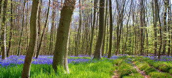 bluen blommar skogen royaltyfri fotografi