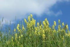 bluen blommar skysommar Fotografering för Bildbyråer