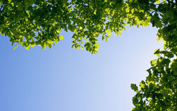 bluen branches oakskyen Royaltyfria Foton