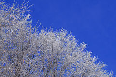 bluen branches skywhite Royaltyfria Foton