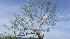bluen clouds skyfjädertrees Royaltyfri Bild