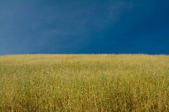 bluen kantjusterar den mogna skyen för oaten under Royaltyfri Bild