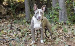 Bluenose Pitbull狗被混合的品种小狗 库存图片