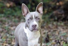 Bluenose Pitbull狗被混合的品种小狗 免版税库存照片