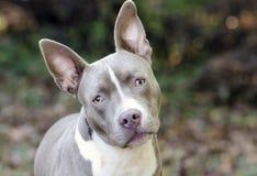 Bluenose Pitbull狗被混合的品种小狗 免版税图库摄影