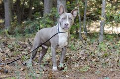 Bluenose Pitbull狗被混合的品种小狗 图库摄影