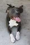 Bluenose Pitbull Royaltyfri Foto