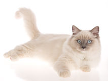 Bluepoint Ragdoll lying on white background Stock Photography