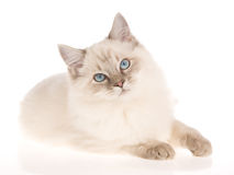 Bluepoint Ragdoll lying on white background Stock Photos