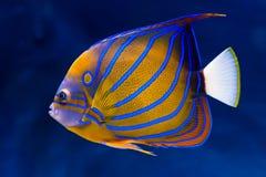 bluering的神仙鱼 库存照片