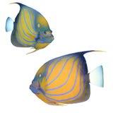 水下神仙鱼背景蓝色bluering的射击 库存照片