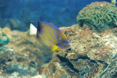 Bluering angel fish Royalty Free Stock Photography